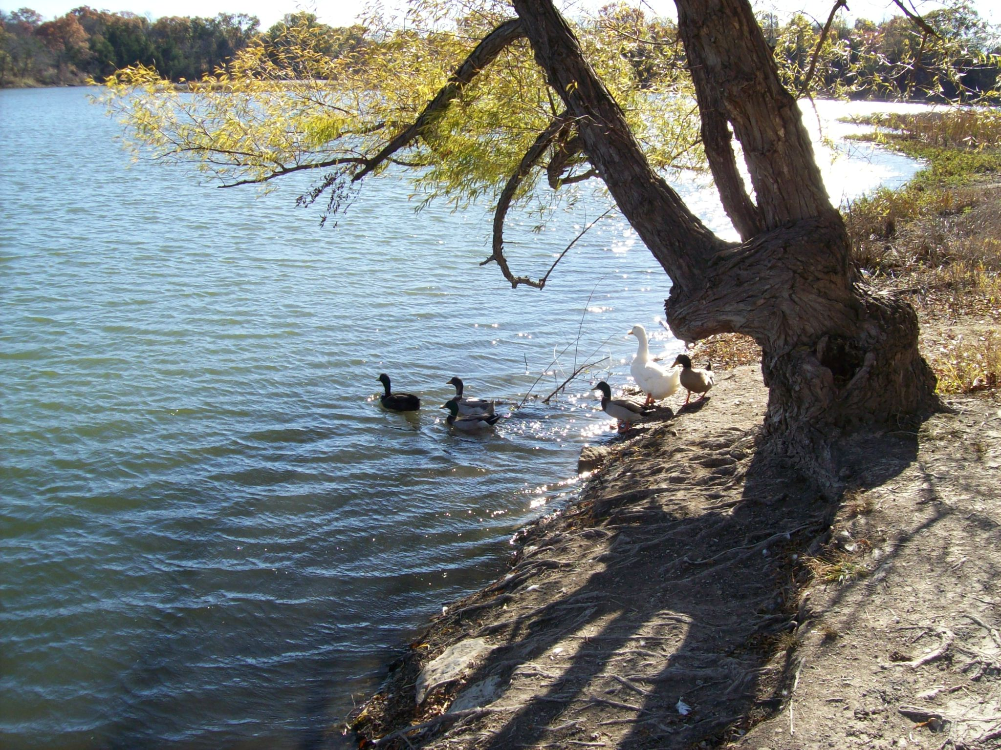 Ducks walking from the shore into water.